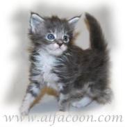 Мейн-кун котята ( Кошки Великаны! ).