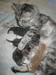 Котята мейн кун от титулованных родителей