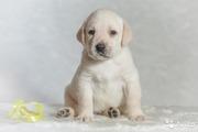 Продам щенков лабрадра ретривера