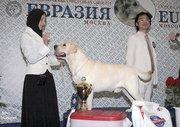 Высокопородные щенки лабрадор-ретивера от чемпионов!!!